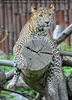 Leopard 06