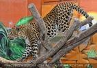 Leopard im Kletterbaum