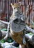 Leoparden 08