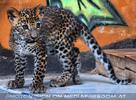 Leoparden Babys 10