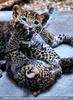 Leoparden Babys 24