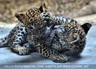 Leoparden Babys 26