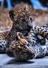 Leoparden Babys 28