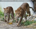 Leoparden Gang