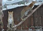 Leoparden Kraxelei