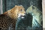 Leoparden Trennung