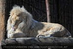 Lion Love 02