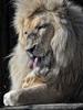 Lion Love 03