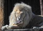 Lion Love 04