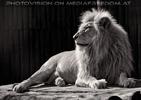 Lion Love 06