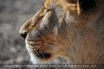 Lion Love 07