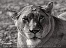 Lion Love 08