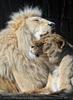 Lion Love 09