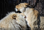 Lion Love 10