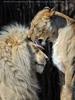 Lion Love 11