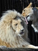 Lion Love 14