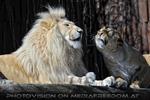 Lion Love 15