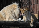 Lion Love 16