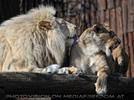 Lion Love 17