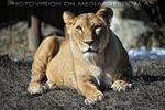 Lion Love 19