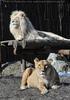 Lion Love 21
