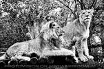 Lion Platoon
