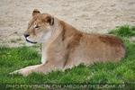 Löwe ohne Mähne