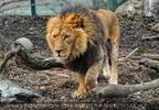 Löwe schleicht