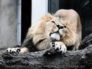Löwe streck dich