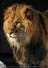 Löwe vor der Höhle