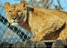 Löwen 01