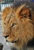 Löwen 02