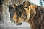 Löwen 04