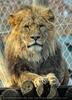 Löwen 06