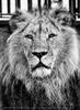Löwen 08