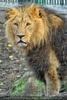 Löwen 09