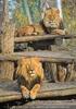 Löwen 11