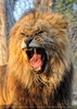 Löwen 14