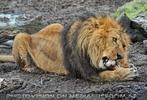 Löwen 2