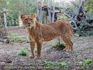 Löwen 4