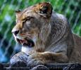 Löwen 6