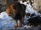 Löwen Appetit