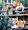 Löwen Beobachtung