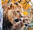 Löwen gegähne