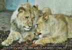 Löwen Geschwister