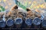 Löwen kuscheln