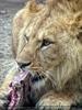 Löwen Mahl