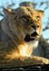 Löwen Portrait 4