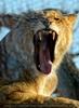 Löwen Portrait 5