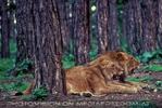 Löwen Safari  01